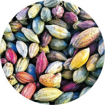 可可果色彩繽紛——來自不同品種的可可果顏色不同,內有數十顆可可豆。優質可可豆經適度烘焙製造的黑朱古力,沒有苦味,還可嘗到堅果、果酸等天然風味。(Christy提供)