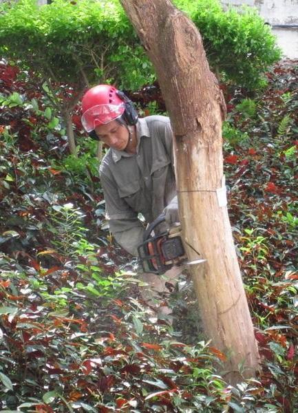 除了肩負樹上工作外,梁官成也要在樹下工作,包括圖中他以約 5 公斤的電油鋸移除已枯死的樹。