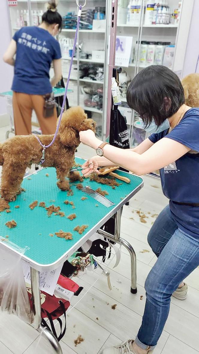 學員在學習替動物剪毛的過程 中,會先以修剪海綿狗起步, 待累積了一定的經驗,掌握狗 隻的線條輪廓、身體細節後, 才以真狗進行練習。